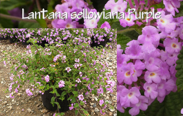 Lantana-sellowiana-Purple