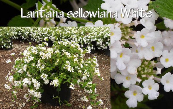 Lantana-sellowiana-White
