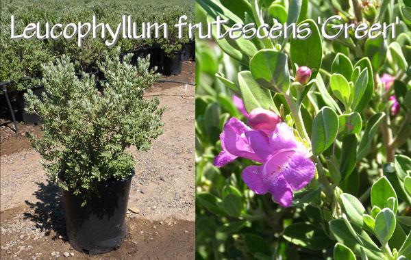 Leucophyllum-frutescens-'Green'