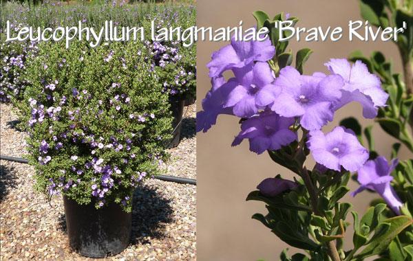 Leucophyllum-langmaniae-'Brave-River'