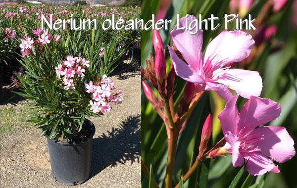 Nerium-oleander-Light-Pink