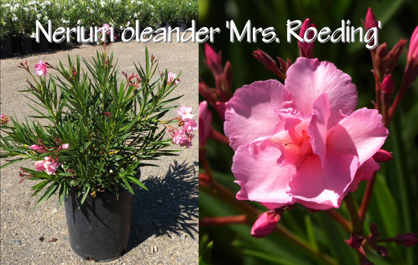Nerium-oleander-'Mrs.-Roeding'