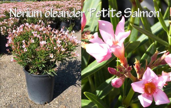 Nerium-oleander-'Petite-Salmon'