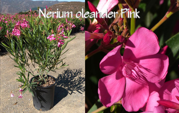 Nerium-oleander-Pink