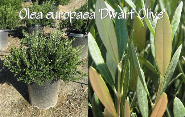 Olea-europaea-'Dwarf-Olive'