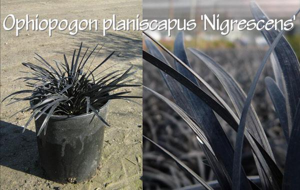 Ophiopogon-planiscapus-'Nigrescens'