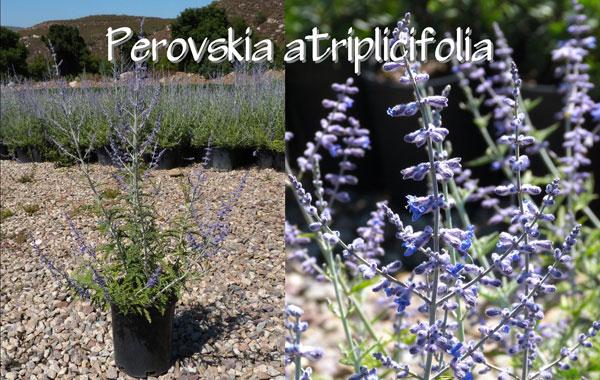 Perovskia-atriplicifolia-(2)