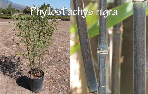 Phyllostachys-nigra