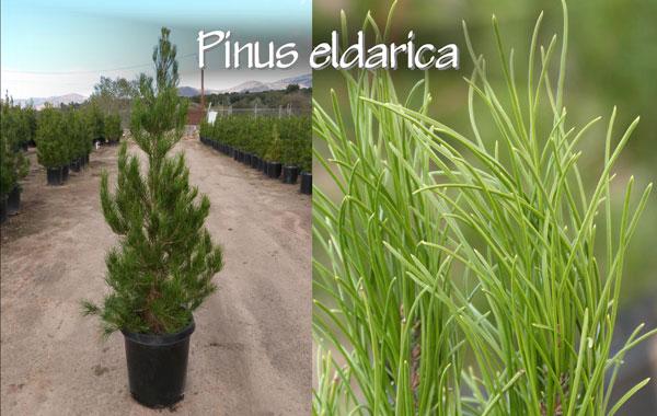 Pinus-eldarica_13