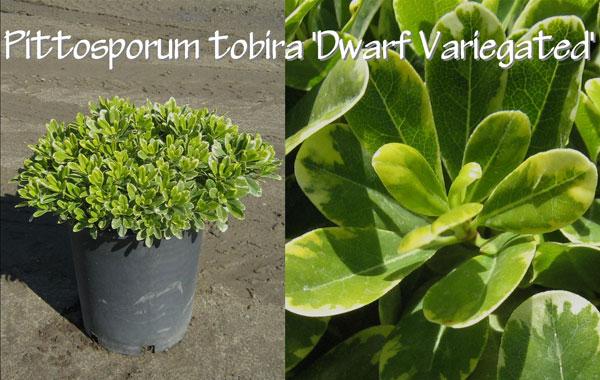 Pittosporum-tobira-'Dwarf-Variegated'