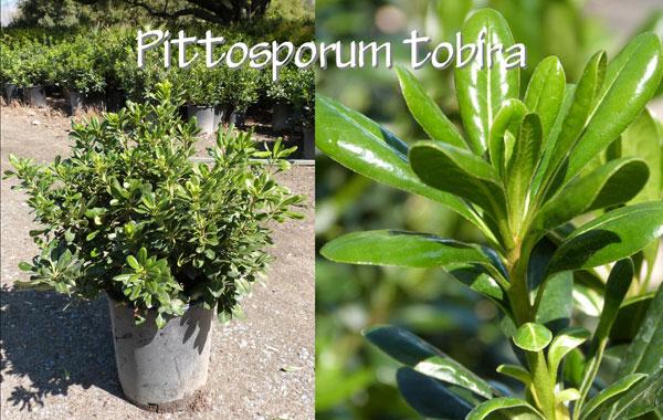 Pittosporum-tobira