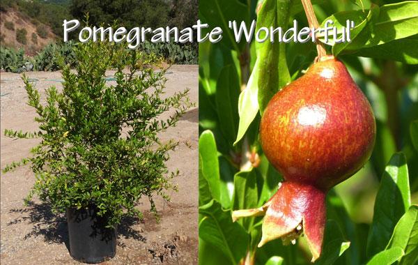Pomegranate-'Wonderful'