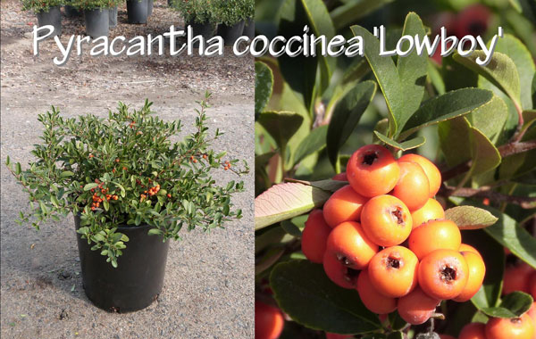 Pyracantha-coccinea-'Lowboy'_13