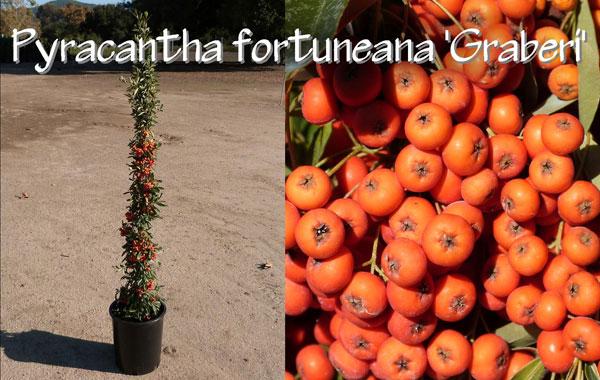 Pyracantha-fortuneana-'Graberi'_13