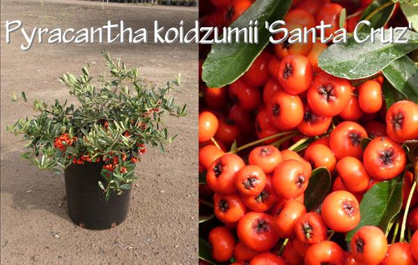 Pyracantha-koidzumii-'Santa-Cruz'_13