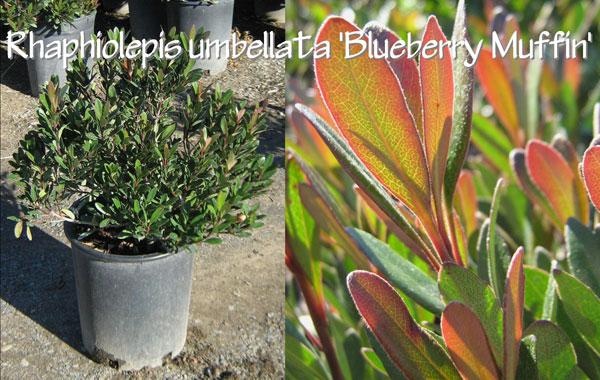Rhaphiolepis-umbellata-'Blueberry-Muffin'