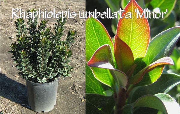 Rhaphiolepis-umbellata-'Minor'