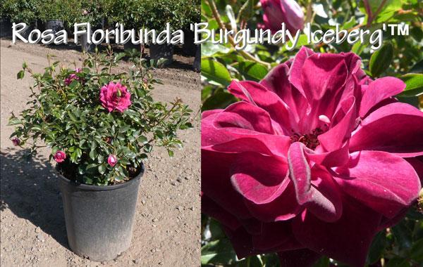 Rosa-Floribunda-'Burgundy-Iceberg'