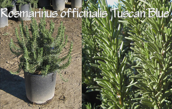 Rosmarinus-officinalis-'Tuscan-Blue'