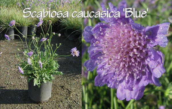 Scabiosa-caucasica-'Blue'