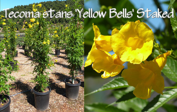 Tecoma-stans-'Yellow-Bells'-Staked