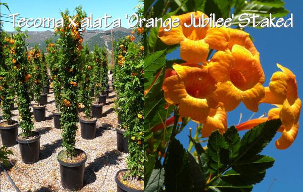 Tecoma-x-alata-'Orange-Jubilee'-Staked