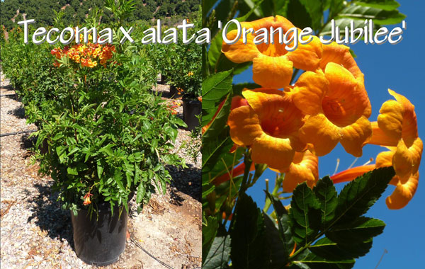 Tecoma-x-alata-'Orange-Jubilee'