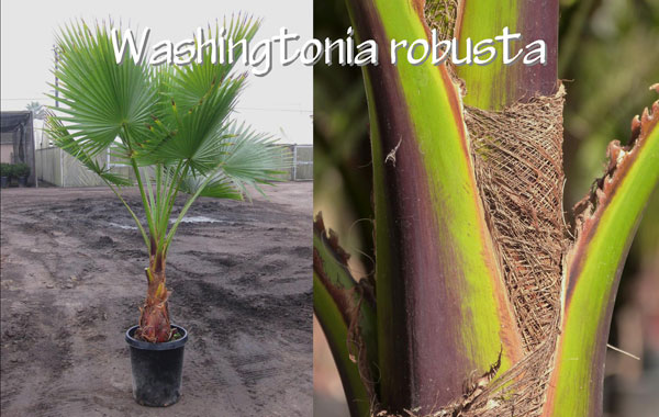 Washingtonia-robusta