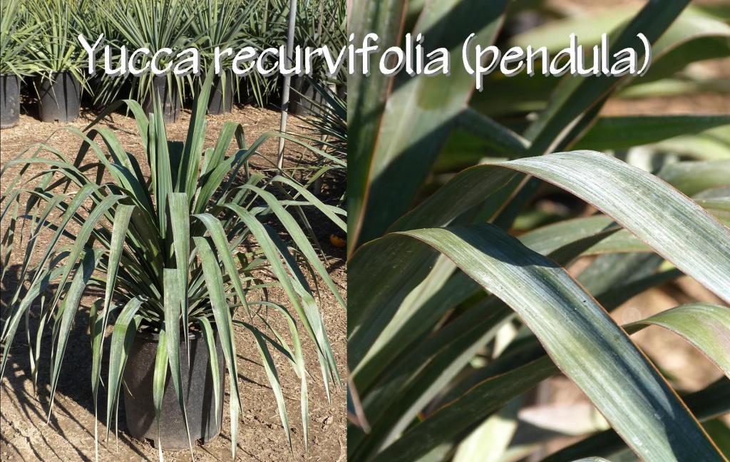 Yucca recurvifolia (pendula)