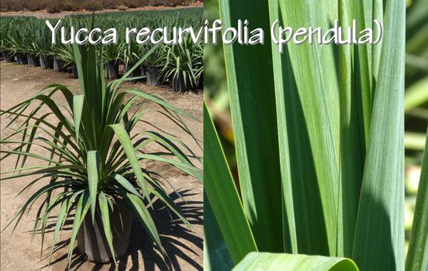 Yucca-recurvifolia-(pendula)