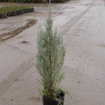 1g Juniperus scopulorum 'Wichita Blue'