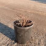 1g Spiraea japonica 'Goldflame'