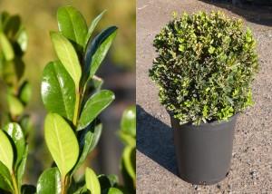 BuxusMicrophylla