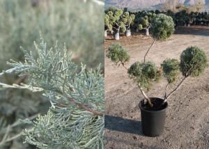 JuniperusXPfitzeriana