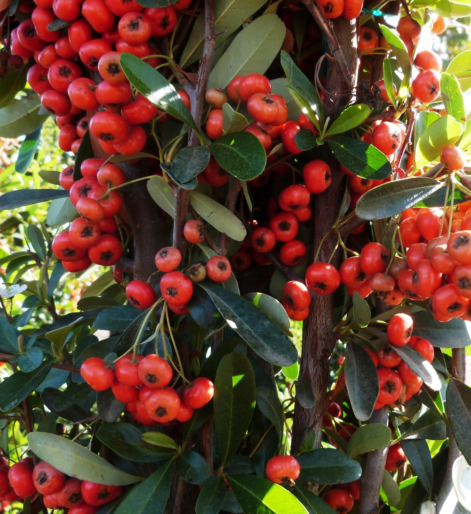 Picture of Live Firethorn aka Pyracantha fort. 'Graberi' stk Plant Fit 1 Gallon Pot
