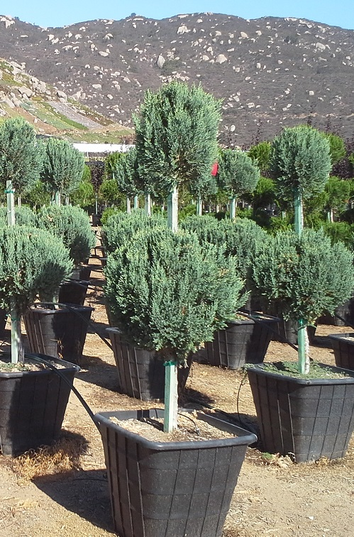Juniperus Chinensis Blue Point T Y Nursery