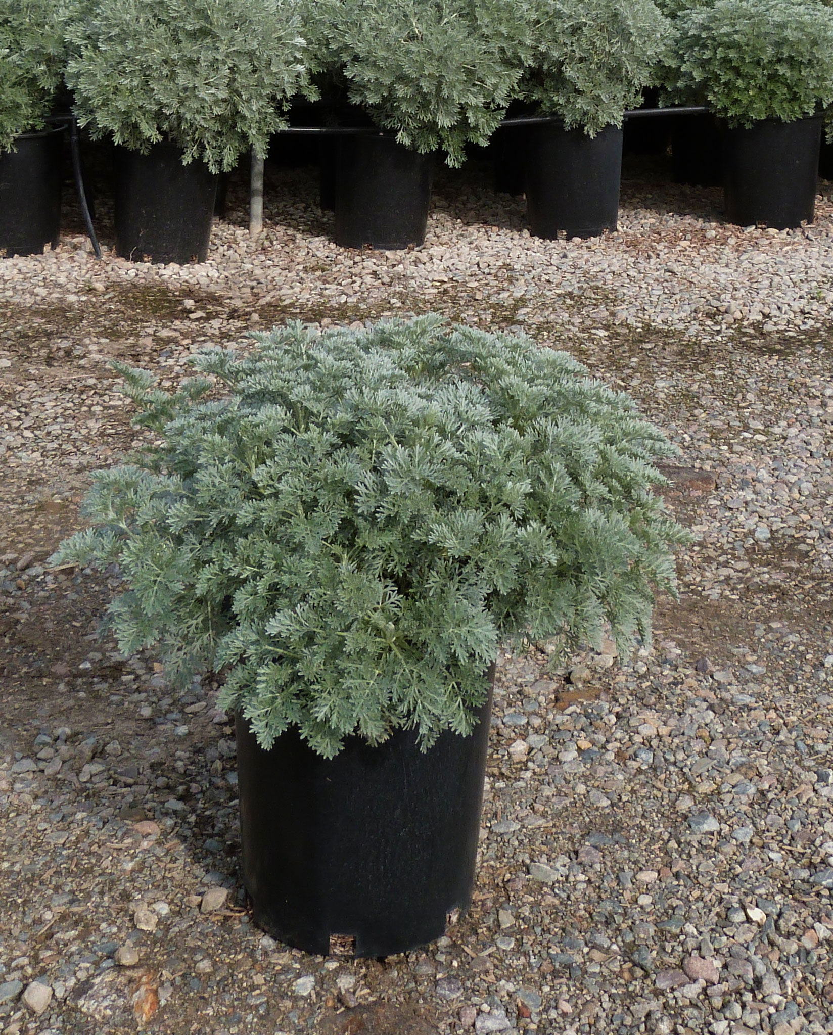 Picture of Live White Sage aka Artemisia a. 'Powis Castle' Perennial Plant Fit 1 Gallon Pot