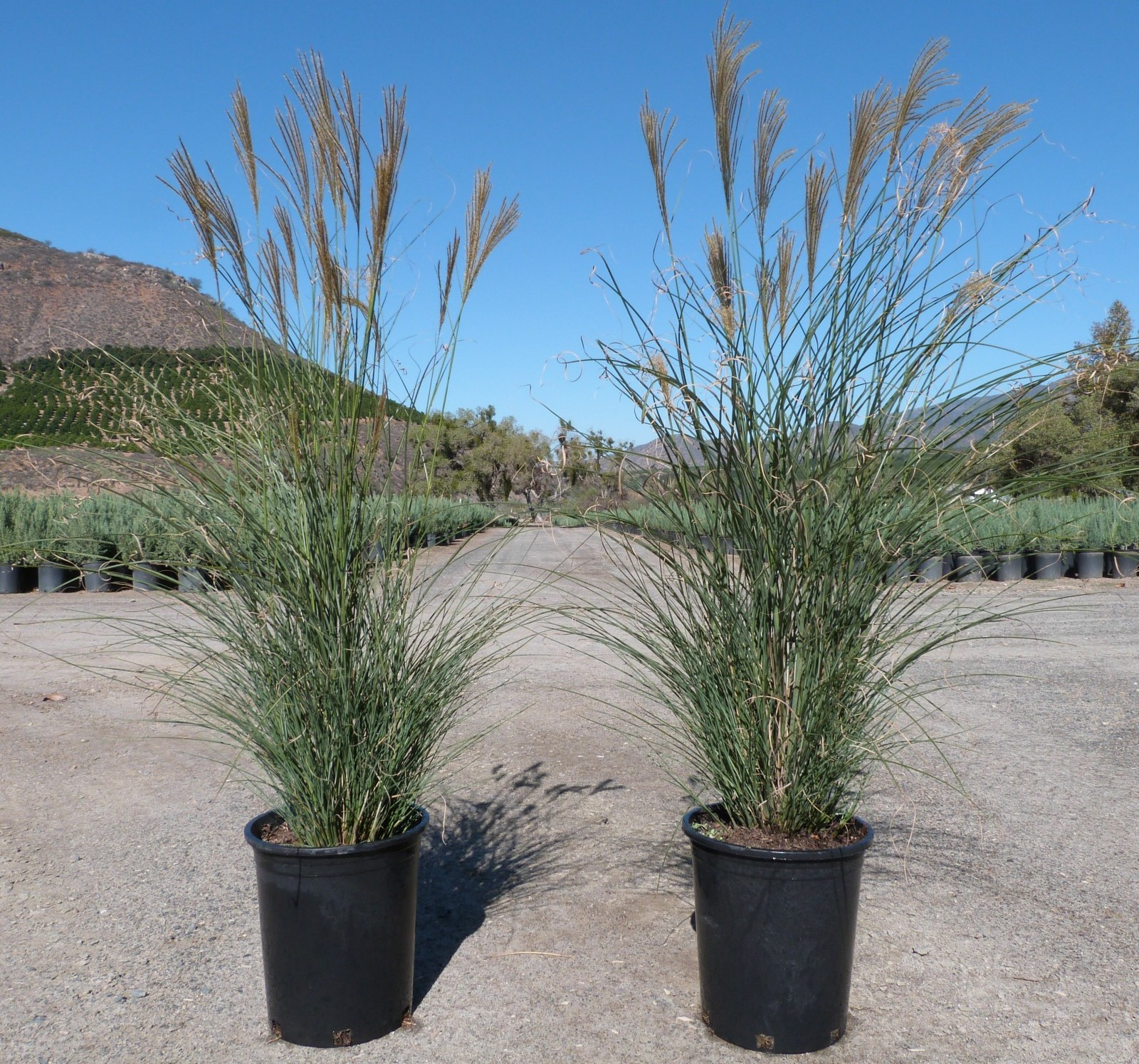 miscanthus sinensis gracillimus t y nursery. Black Bedroom Furniture Sets. Home Design Ideas