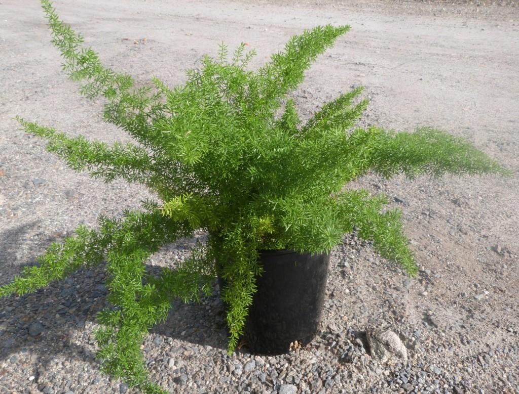 Asparagus densiflorus sprengeri t y nursery