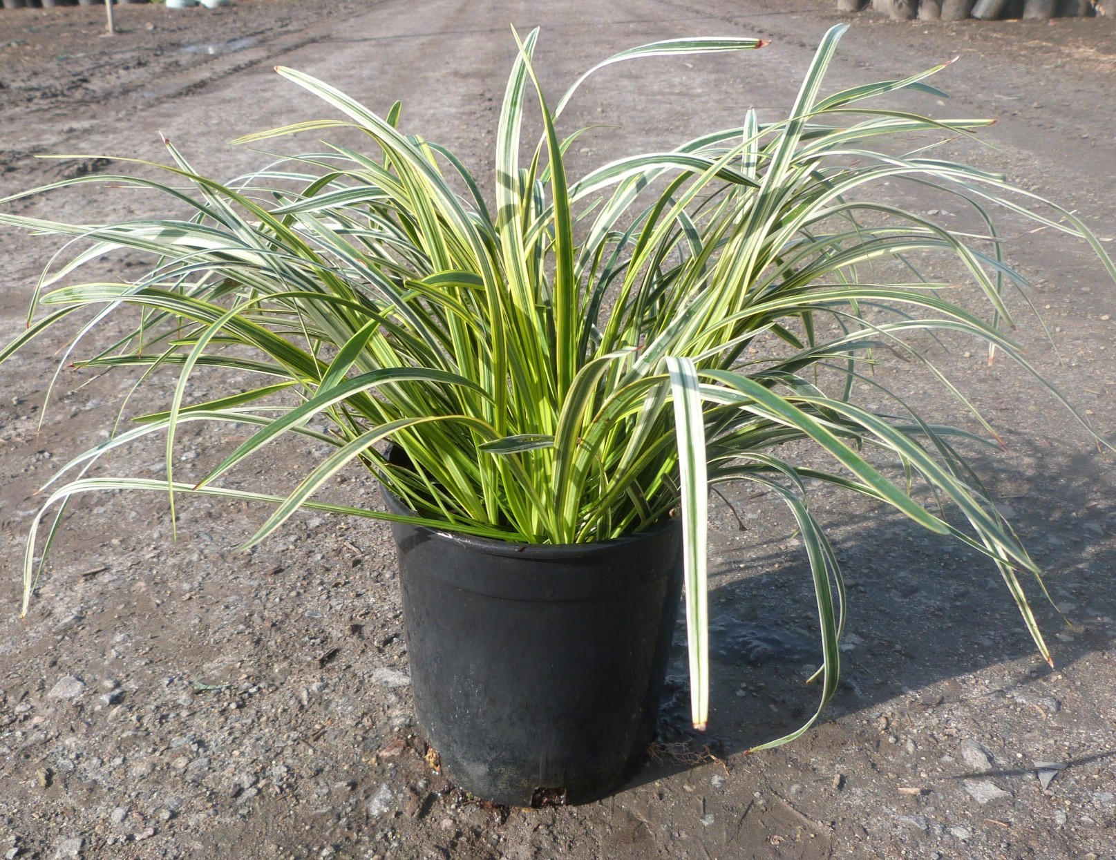 Liriope Muscari Silver Sunproof T Y Nursery