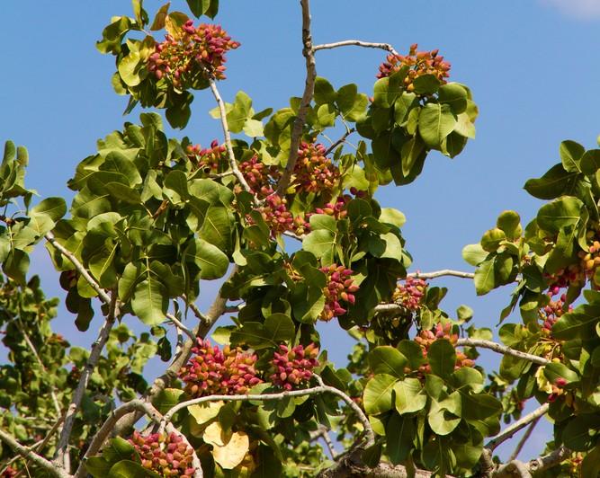 Pistachio Fruit Tree
