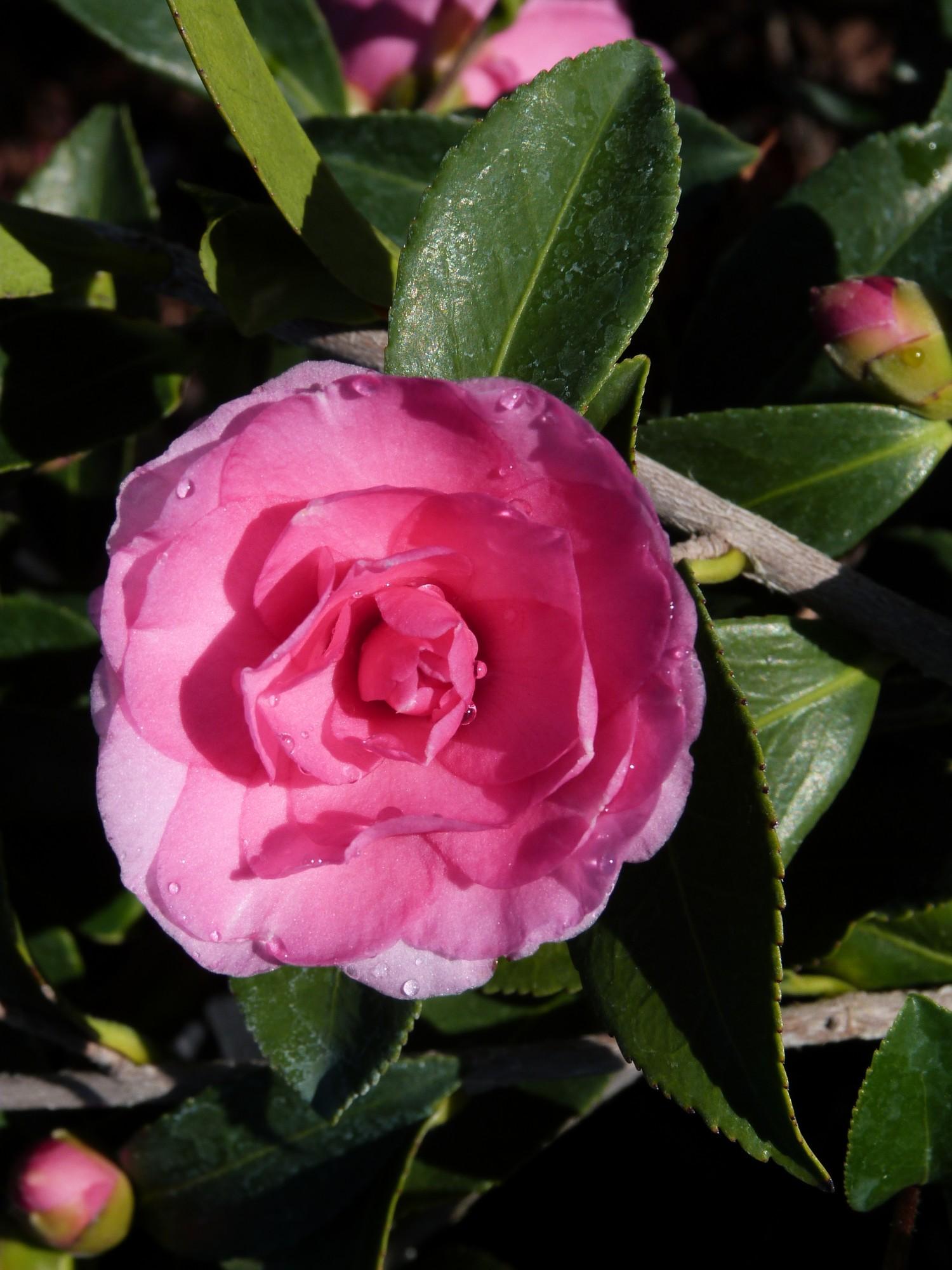 Camellia sasanqua 39 chansonette 39 t y nursery for Camellia sasanqua