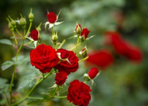 TYNursery-Spring-Roses